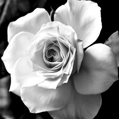 20150829_2077 (Sándalo Armas) Tags: 2015 rosa rose blancoynegro bw bn blackwhite blackandwhite noiretblanc biancoenero pretoebranco черноибяло чернобелый 黑與白 blackandwhiteonly blackwhitepassionaward