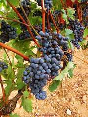 Esperando a la vendimia (kirru11) Tags: uvasnegras viñas parras campo tierra hojas quel larioja españa kirru11 anaechebarria canonpowershot