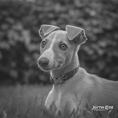 Willow the puppy whippet resting #blackandwhitephotography #blackandwhite #petsofinstagram #pets #whippetsofinstagram #whippetlove #whippet #puppylove #puppys #fujifilmxpro1 #fujifilm #justin.photo.coe (justin.photo.coe) Tags: ifttt instagram willow puppy whippet resting blackandwhitephotography blackandwhite petsofinstagram pets whippetsofinstagram whippetlove puppylove puppys fujifilmxpro1 fujifilm justinphotocoe