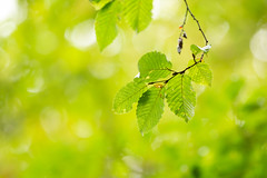 Leaves (Future-Echoes) Tags: 4star 2018 bokeh depthoffield dof green leaves nature sparkeywood wickhambishops woodland witham england unitedkingdom gb