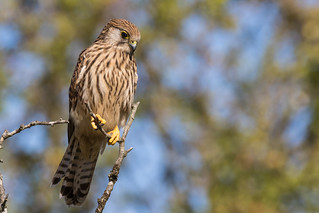 Kestrel scouting for insects