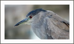 Black Crowned Night Heron (juliemarie.stollery) Tags: heron blackcrowned bird seabird animal wildlife nature nightheron california oakland
