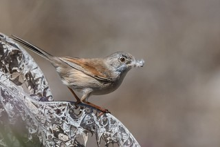 Spectacled Warbler (female)