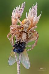 Breakfast. (Ireneusz Irass Waledzik) Tags: irass ireneusz nikon nationalgeographic nature ngc nikond7100 naturallight natgeo macrophotography macro meadow closeup apocomponon 45mm schneiderkreuznachapocompononhm454 componon stack spider fly f4