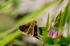 2017 Peck's Skipper (Polites peckius) (DrLensCap) Tags: pecks skipper polites peckius weber spur trail labagh woods chicago illinois il bug insect butterfly rails to trails cook county forest preserve district preserves robert kramer