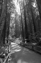 Redwood paradise [VII] (Olivier So) Tags: usa california marincounty muirwoods goldengatenationalrecreationarea woods redwoods tree nature bw blackwhite blackandwhite bayarea sequoia