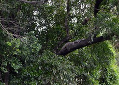 tree lizard (the foreign photographer - ฝรั่งถ่) Tags: water monitor lizard tree bangkhen bangkok thailand nikon