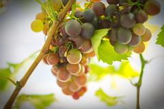 ripening (huubca) Tags: druif druiven grapes carlzeiss nature aposonnart2135 zf2 ripeness fruit autumn wasp wesp