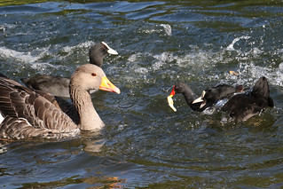 Moorhen wins bread toss vs Greylag and Coots...6O3A0221A