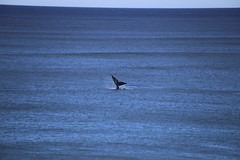 IMG_3598 (gervo1865_2 - LJ Gervasoni) Tags: surfing with whales lady bay warrnambool victoria 2017 ocean sea water waves coast coastal marine wildlife sealife blue photographerljgervasoni