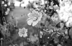 Back Garden . (wayman2011) Tags: colinhart fujifilm18mmf2lightroom5 fujifilmxt10 wayman2011 bwlandscapes mono rural gardens flowers flora pennines dales teesdale stainton countydurham uk