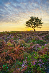 Lonely Tree (littlenorty) Tags: air england europe hallicksholehill hampshire heather landscape loxia21mm mist nature newforest ogden pine plants sunrise type unitedkingdom weather bluehour lonetree sonya7r3 tree