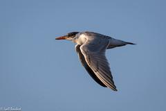 Immature Caspian Tern (Lyall Bouchard) Tags: bird caspiantern flight margaretsville novascotia canada ca