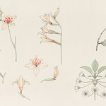 Study sheet with gladiolus and apple blossom (1899) by Julie de Graag (1877-1924). Original from the Rijks Museum. Digitally enhanced by rawpixel. thumbnail