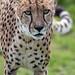 Funny cheetah portrait