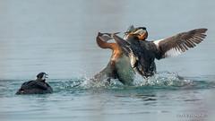 Slam (Earl Reinink) Tags: splish splash water lake fight waterfowl nature wildlife earl reinink earlreinink slam blam itadiuhdza redneckedgrebe bird animal reflection