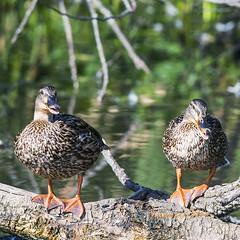 No Photos Please (elpeterso69) Tags: heronhaven mallard fauna wildlife nature wildbirds avian fowl waterfowl duck lake pond wetland aquatic omahane nebraska midwest iowa naturephotography anasplatyrhynchos dsc7670