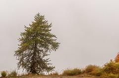 Dicke Suppe (RaiLui) Tags: avwandern vallemaira baum italien nebel piemont solitär elva it