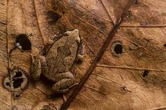 Bolivian bleating frog (antonsrkn) Tags: hamptophryneboliviana bolivia peru bolivianbleatingfrog frog amphibian macro nikon leaf pattern camouflage camo herp herping herpetology madrededios