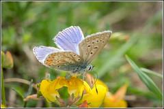 Common Blue Butterfly (Polyommatus icarus) (Smudge 9000) Tags: 2018 butterfly oaremarshes polyommatusicarus summer commonblue oare england unitedkingdom gb