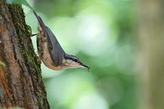 Nuthatch (Hishyar H.) Tags: birds bamberg deutschland nikon d500 200500 mature wildlife vögel kleiber greenworm worm