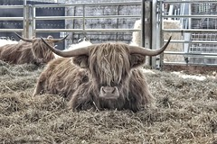 Morag and Keilidh. (John Campbell 2016) Tags: heilancoos highlandcows coos cows ginger scottishcoos highlanders beautifulcreatures beautifulbeasts relaxing hay horns longhorn scottish cowphotography canon1300d canon canoncamera canoncaptures lovecanon loveanimals lovecoos farmanimals graceful