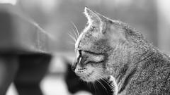 Cat B&W (Engin Süzen) Tags: cat catportait cats catmoments catportrait bw sb blackandwhite blacknwhite blackwhite portrait pussycat pussy olympus olympusem1markii olympusomdem1markii m43 m43turkiye