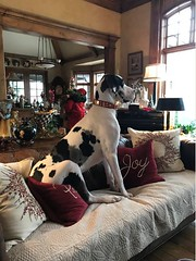 Krammer (Alpen Schatz - Mary Dawn DeBriae) Tags: happy customer alpenschatz bernesemountaindog dog swissdogcolar hunterswisscrosscollar doggles stein