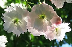 Sunlit Blossom! ('cosmicgirl1960' NEW CANON CAMERA) Tags: lanhydrock nt cornwall parks gardens trees green blossom apple white springnature yabbadabbadoo