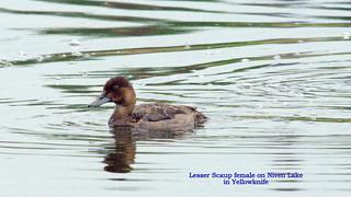 113-lesser scaup female