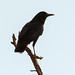Corvus capensis (Cape Crow)