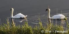 Swanes At Carlton marsh_wm (madmax557) Tags: swan swans uk england suffolk carltonmarsh lowestoft wildlife wildlifebirds birds animals rivers river eastanglia