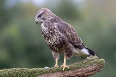 Buzzard (OwenDavies76) Tags: cwmbran wales unitedkingdom gb wildlife photography canonuk nature raptor