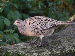 Pheasant hen (Phasianus colchicus), Leighton Moss RSPB Reserve (Niall Corbet) Tags: rspb leightonmoss pheasant phasianuscolchicus