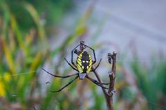 Garden Spider: orb weaver (marylea) Tags: gardenspider orbweaver web spider arachnid aug26 garden 2018