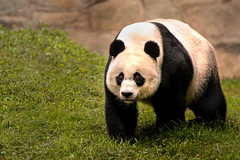 Walking Panda 3-0 F LR 9-16-18 J037 (sunspotimages) Tags: animal animals nature wildlife panda pandas zoo zoos zoosofnorthamerica nationalzoo fonz fonz2018