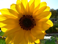 Der letzte Sommertag 2018 (BrigitteE1) Tags: sommer summer sonnenblume blumen gelb yellow sunflower flowers gärten grün green sommertag summerday blume flower light licht germany deutschland