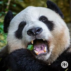 Kung-Fu Panda (RonHui) Tags: ouwehands zoo animals dier beest dieren dierentuin