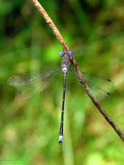 Spreadwing IMG_0579 (Jennz World) Tags: ©jennifermlivick mountpleasantnaturepark mountpleasant ontario canada dragonfly damselfly caterpillar butterfly