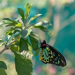 Cairns Birdwing (gecko47) Tags: insect lepidoptera butterfly papilionidae birdwing male cairnsbirdwing ornithopteraeuphoria bribieislandbutterflyhouse bongaree macro