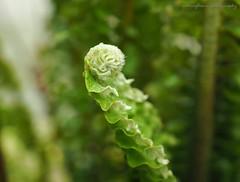 Rainforest. (natureflower) Tags: rainforest fern green plant vascular leaves bud
