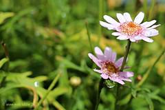 RAINDROPS || REGENDRUPPELS (Anne-Miek Bibbe) Tags: bloei bloemen flowers flor flores bloom blumen fleur fleurs fiori fioritura canoneos700d canoneosrebelt5idslr annemiekbibbe bibbe nederland 2018