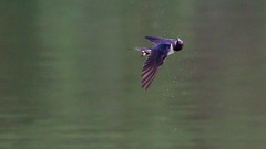 Hirondelle or Swallow (Wilco1954) Tags:
