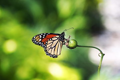 ...wanderer (Jim Atkins Sr) Tags: wanderer monarchbutterfly monarch danausplexippus milkweed commontiger butterfly northcarolina newbern olympus olympuspenepm2