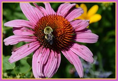`'` Bumbler On Blossom `'` (Wolverine09J ~ 1.8 Million Views) Tags: butterfliesandblossomsaug18 bumblebee purpleconeflower summer blossom visiting colorful tranquil thelooklevel1red thelooklevel2yellow naturescreations