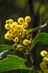 Wattle Blossoms (Serendigity) Tags: flora belair blossoms nationalpark flowers sa nature wattle australia southaustralia plants au