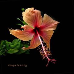 Hibisco/Hibiscus (Altagracia Aristy Sánchez) Tags: hibisco hibiscus cayena laromana quisqueya repúblicadominicana dominicanrepublic caribe caribbean caraibbe antillas antilles trópico tropic américa altagraciaaristy fujifilmfinepixhs10 fujifinepixhs10 fujihs10 blackbackground fondonegro sfondonero