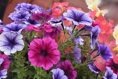 Colour of Petunias (Manoo Mistry) Tags: nikon nikond5500 tamron18270mmzoom tamron flowers plants parks garden colours petuna