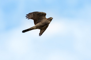 Sparrow Hawke.