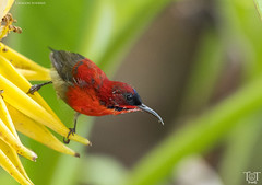 Crimson Sunbird (tracetam_travels) Tags: tttravels nature wildlife crimson sunbird male singapore botanical gardens bird red